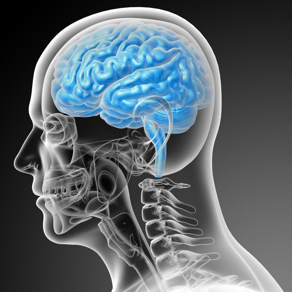 3d render medical illustration of the brain - side view
